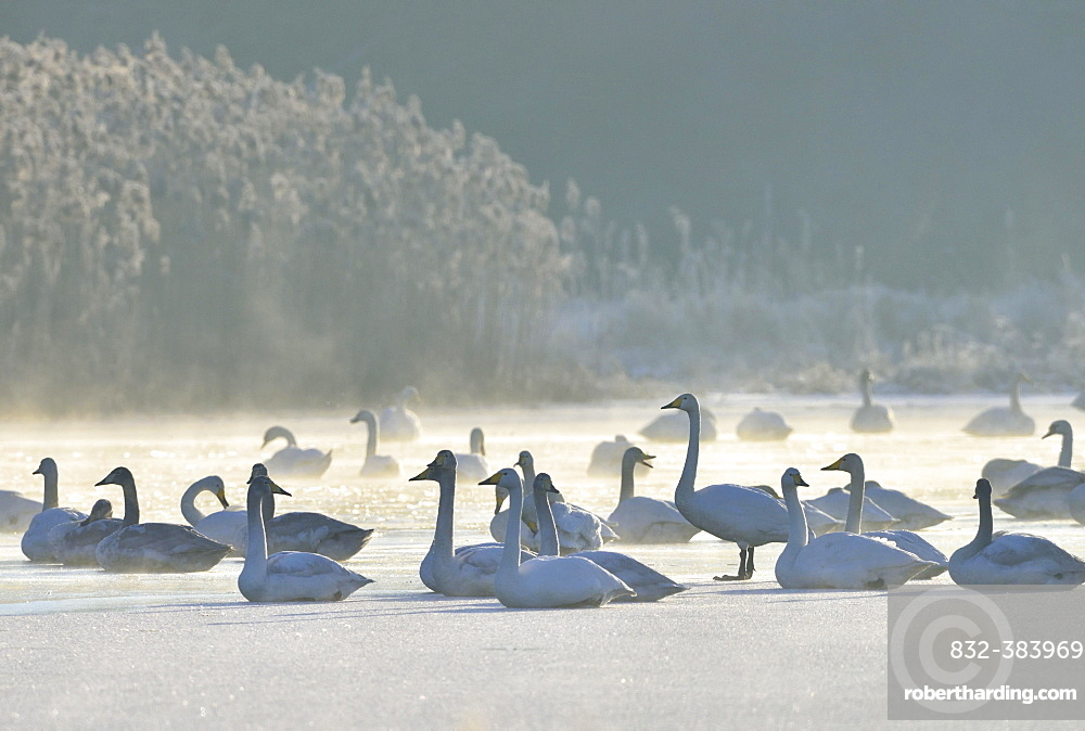 Whooper swans (Cygnus cygnus) resting on an ice surface in winter, Saxony-Anhalt, Germany, Europe