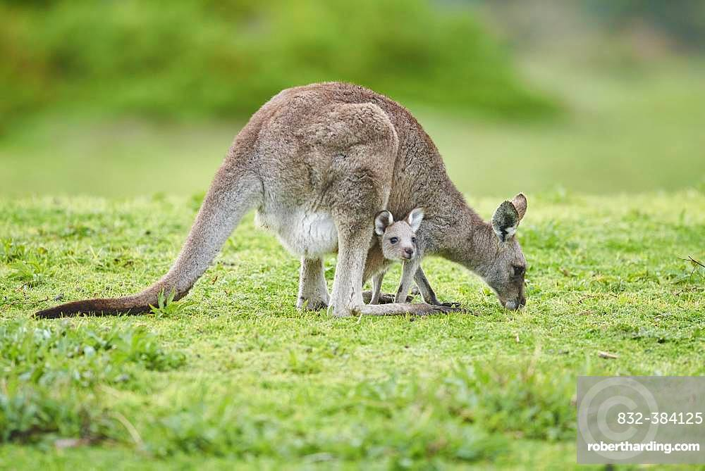 Eastern grey kangaroo (Macropus giganteus), adult with cub on a meadow, Victoria, Australien