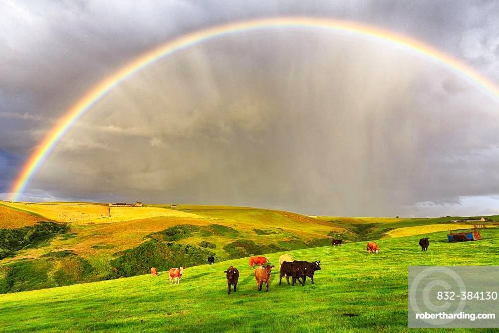 Angus cattle grazing on pasture in agricultural landscape with rainbow, Pennan, Aberdeenshire, Scotland, Great Britain
