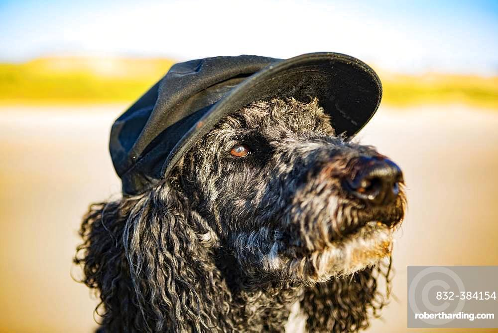 Portrait, King Poodle with visor cap on the beach, Grayan-et-l`Hopital, Aquitaine, Gironde, France, Europe