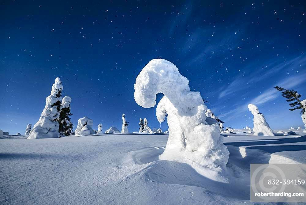 Night shot with starry sky in winter, snow-covered Pines (Pinus) in Riisitunturi National Park, Posio, Lapland, Finland, Europe
