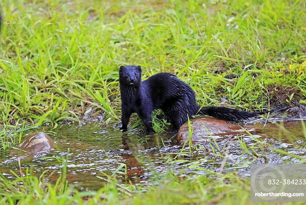 American Mink (Mustela vison), adult, alert, on the water, Pine County, Minnesota, USA, North America