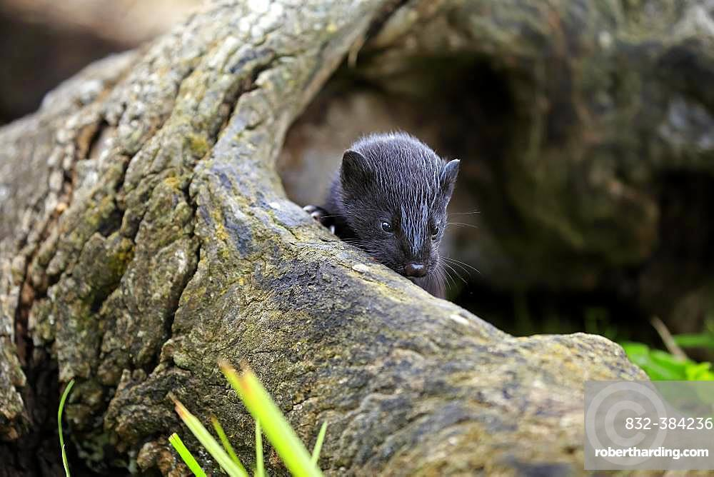 American Mink (Mustela vison), young animal in hollow tree trunk, Pine County, Minnesota, USA, North America
