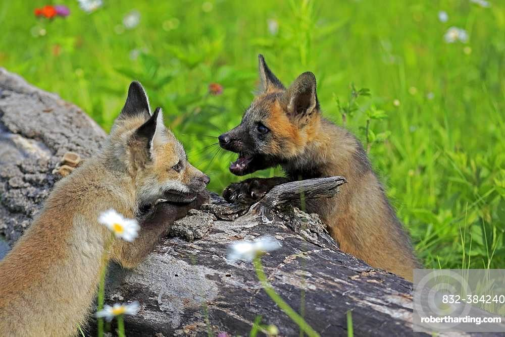 American red foxes (Vulpes vulpes fulvus), young animals playing on a tree trunk, social behaviour, Pine County, Minnesota, USA, North America