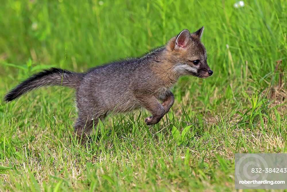 Gray fox (Urocyon cinereoargenteus), young animal jumping on a meadow, Pine County, Minnesota, USA, North America
