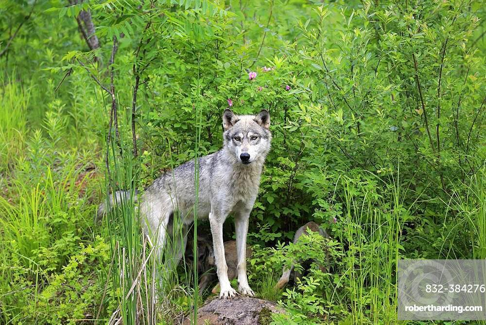 Gray wolf (Canis lupus), adult, standing on meadow, alert, Pine County, Minnesota, USA, North America