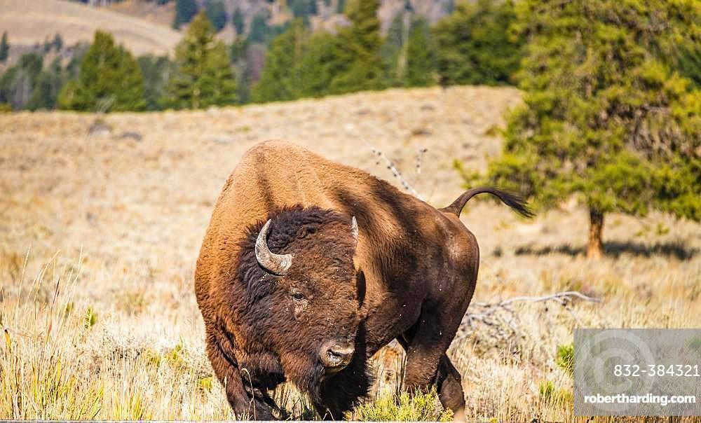 American Bison (Bison bison), Yellowstone National Park, Wyoming, USA, North America