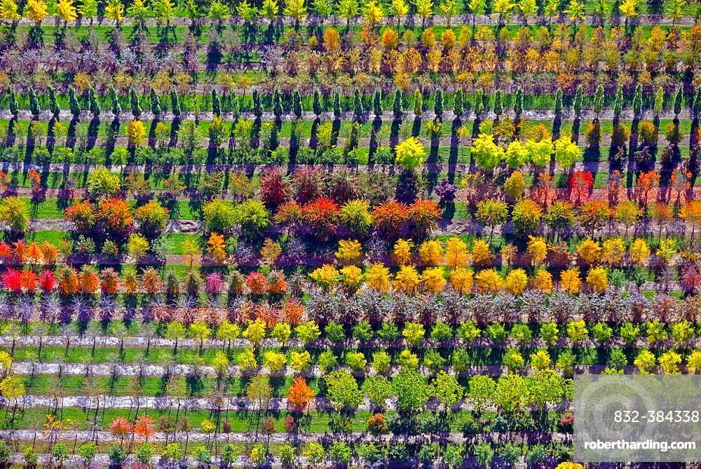 Colourful rows of autumnally coloured trees in a tree nursery, Nordheide, Lower Saxony, Germany, Europe