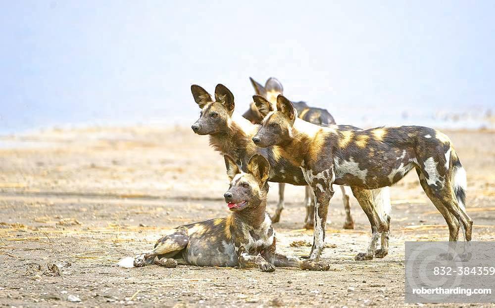 African wild dogs (Lycaon pictus), pack at Lake Masek, Serengeti, Tanzania, Africa