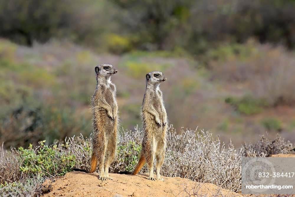 Two Meerkats (Suricata suricatta), adult standing upright, alert, Oudtshoorn, Western Cape, South Africa, Africa