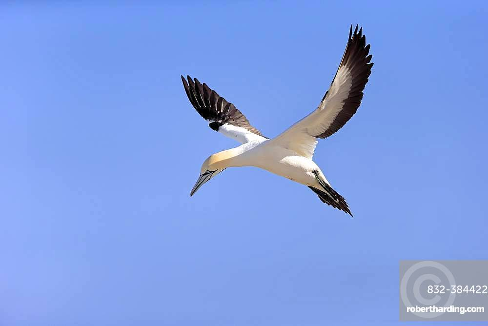 Cape Gannet (Morus capensis), adult flying, Lamberts Bay, Western Cape, South Africa, Africa