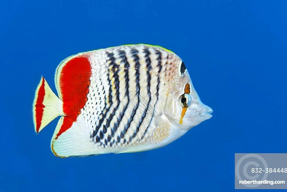 Eritrean butterflyfish (Chaetodon paucifasciatus) swims in open sea, Red Sea, Egypt, Africa
