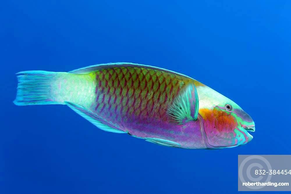 Bullethead parrotfish (Chlorurus sordidus) swims in the open sea, Red Sea, Egypt, Africa