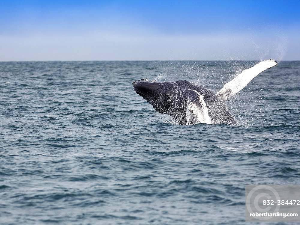 Jumping Humpback whale (Megaptera novaeangliae), Skjalfandi Bay, Skjalfandi, North Iceland, Iceland, Europe