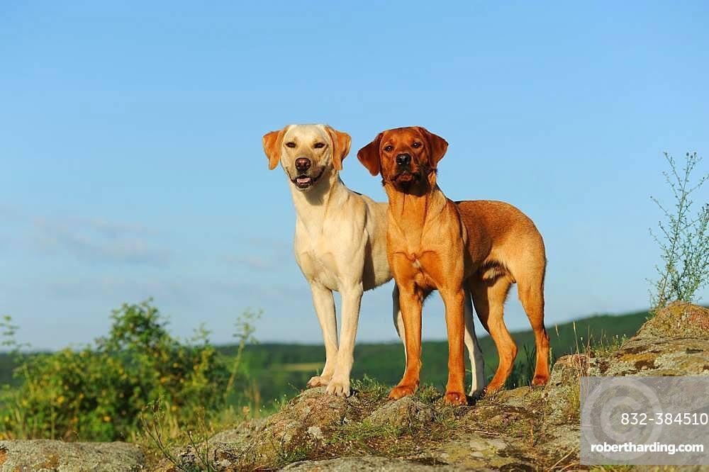 Labrador Retriever, yellow, males, standing on rocks, Austria, Europe