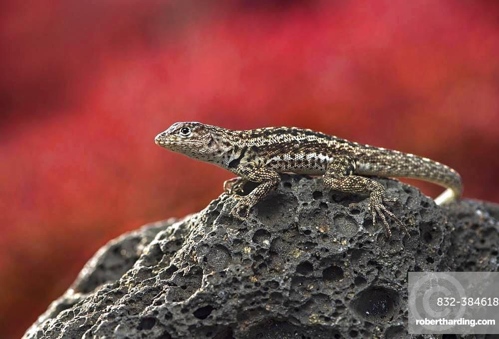 Floreana lava lizard (Microlophus grayii), male on lava rock, Floreana Island, Galapagos Islands, Ecuador, South America