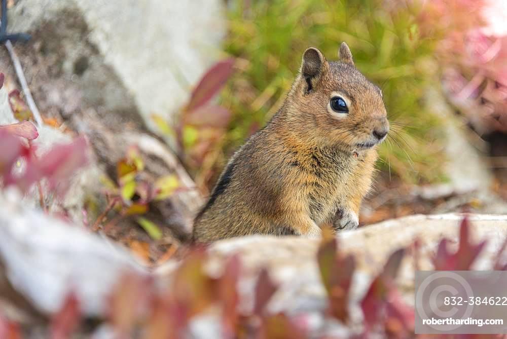 Golden-mantled ground squirrel (Callospermophilus lateralis) sits on the ground, Mount Rainier National Park, Washington, USA, North America