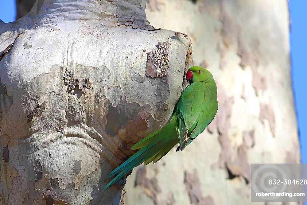 Rose-ringed parakeet (Psittacula krameri), female looking into nest cave in a Plane tree (Platanus), palace gardens Biebrich, Hesse, Germany, Europe
