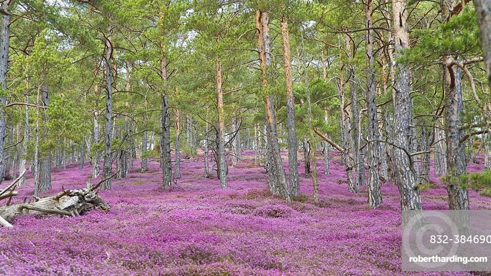 Sea of flowers with flowering purple Heather (Calluna vulgaris) in the pine forest, Styria, Austria, Europe