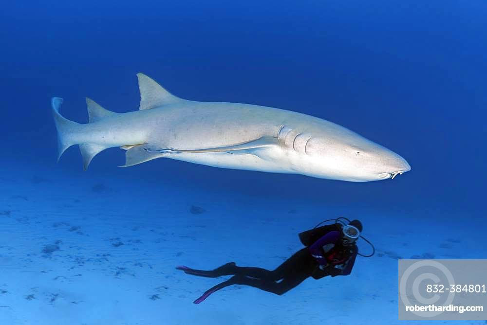 Diver observing Tawny nurse shark (Nebrius ferrugineus), Indian Ocean, Maldives, Asia