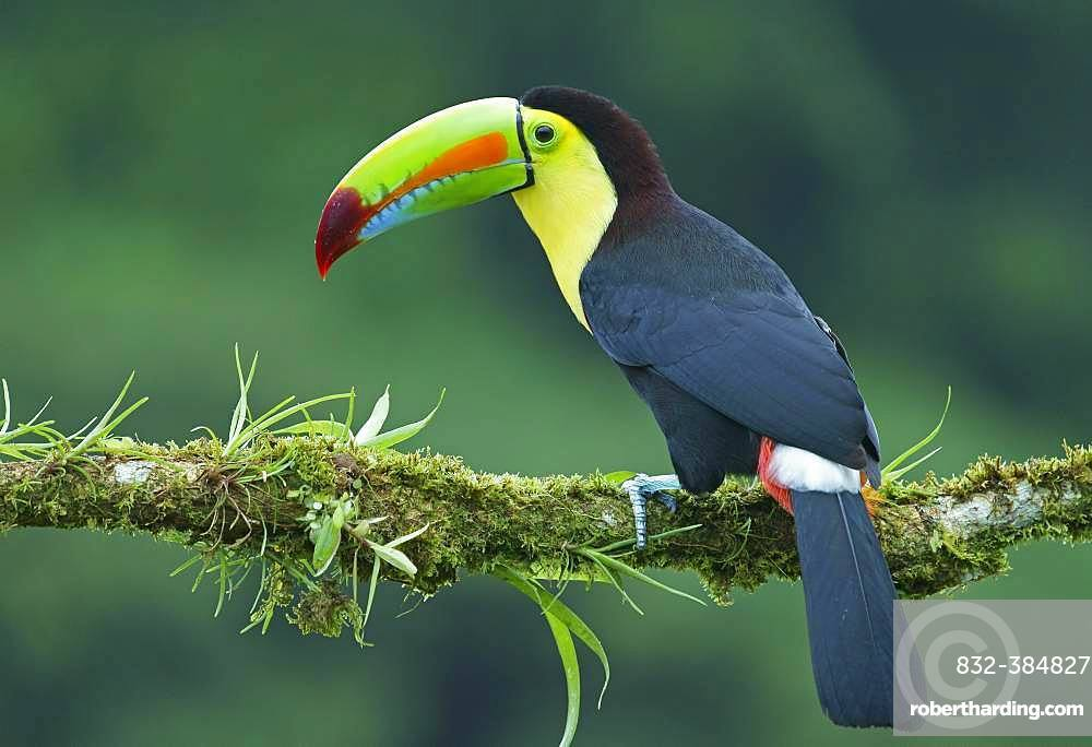 Keel-billed Toucan (Ramphastos sulfuratus), sits on mossed branch, Costa Rica, Central America
