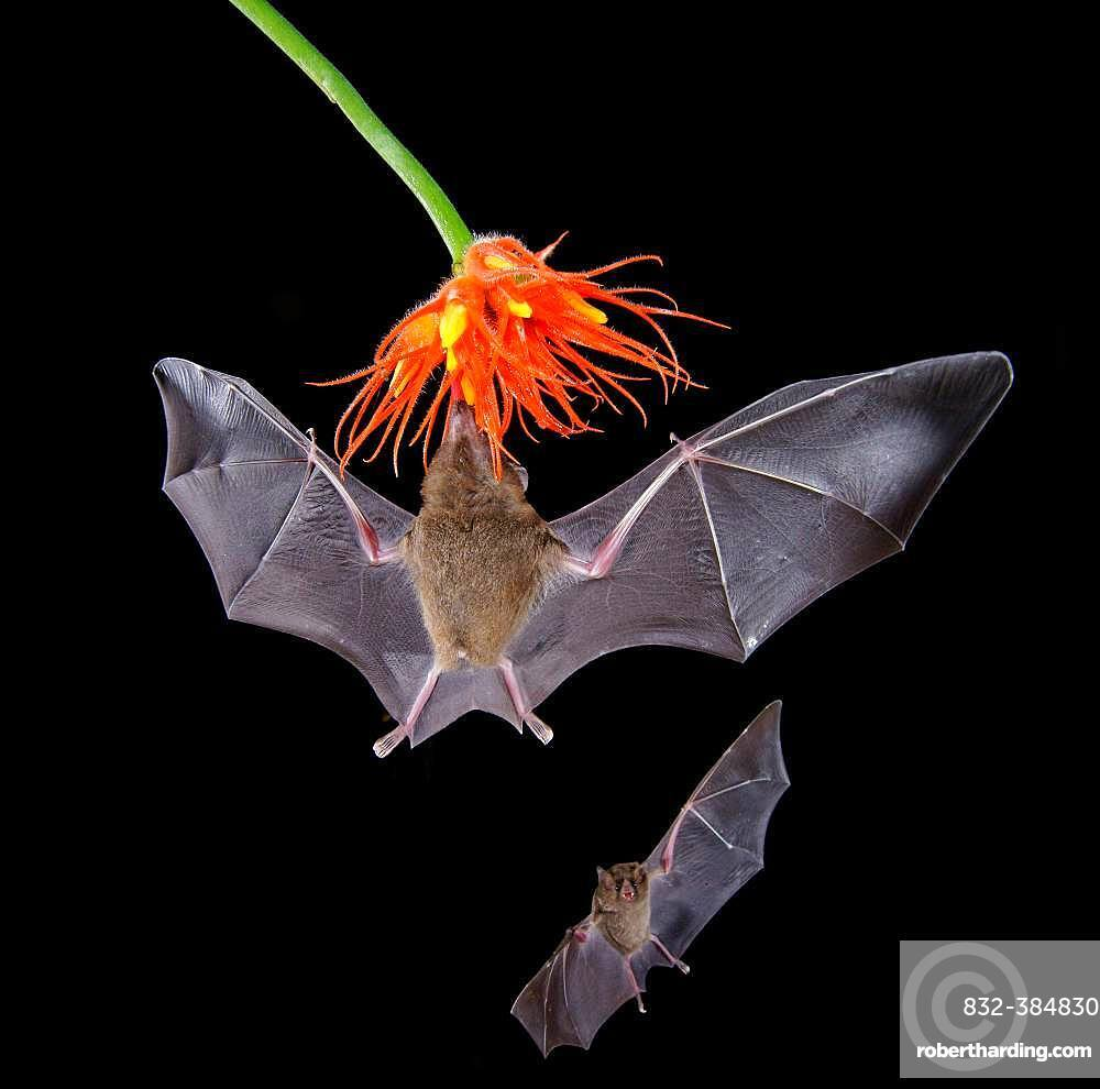 Pallas's long-tongued bats (Glossophaga soricina), approaching a flower at night, eats Necktar, Costa Rica, Central America