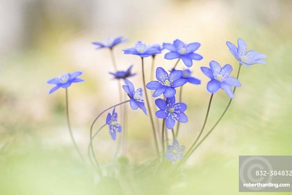 Ordinary Liverwort (Hepatica nobilis), Kalkalpen National Park, Upper Austria, Austria, Europe