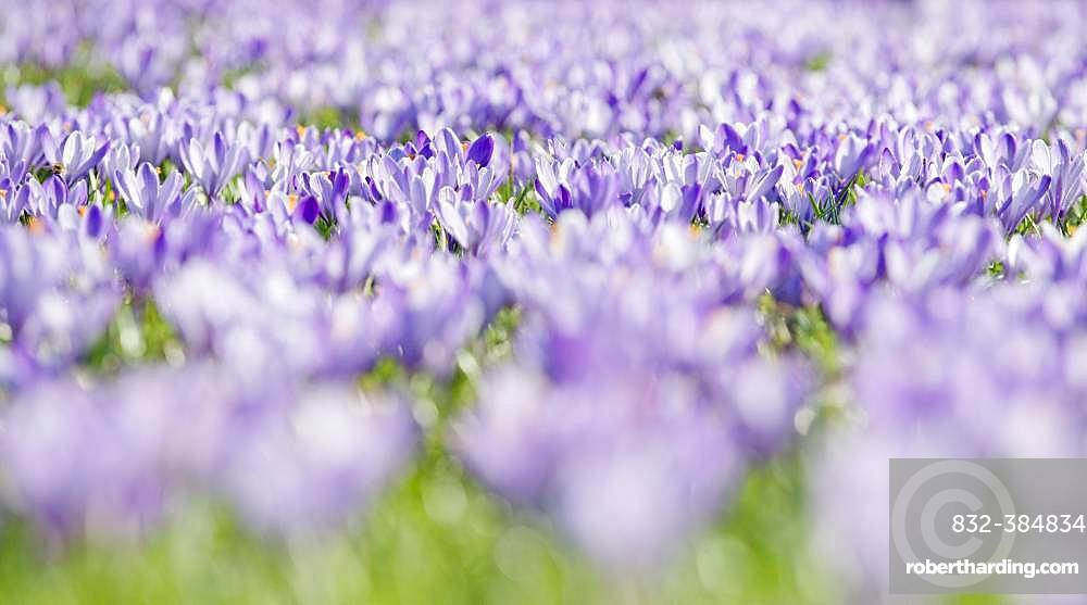Sea of flowers with purple woodland crocus (Crocus tommasinianus), Lower Austria, Austria, Europe