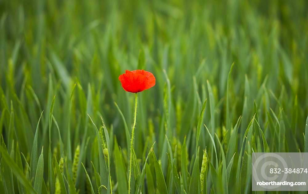Corn poppy (Papaver rhoeas), single flower in high grass, Styria, Austria, Europe