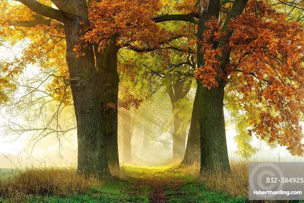 Avenue of Oaks (Quercus) and ashes (Fraxinus) in autumn, sun shines through morning fog, Burgenlandkreis, Saxony-Anhalt, Germany, Europe