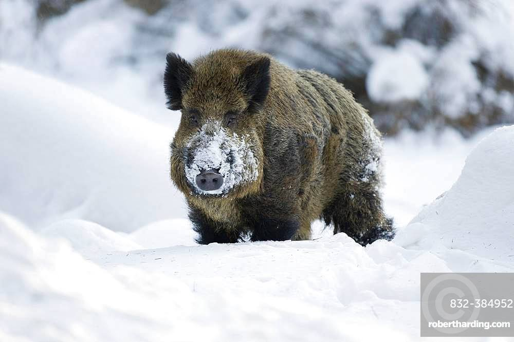 Wild boar (Sus scrofa), tusker standing in the snow, captive, Saxony, Germany, Europe
