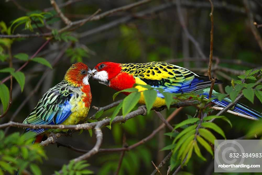 Eastern rosella (Platycercus eximius), male billing with female, captive, Germany, Europe