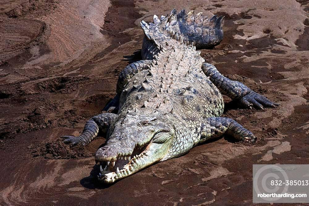 American crocodile (Crocodylus acutus) on sandbank at Rio Tarcoles, Carara National Park, Province Puntarenas, Costa Rica, Central America