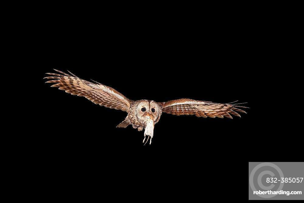 Tawny owl (Strix aluco) flies at night with a Bank vole (Clethrionomys glareolus) in its beak, North Rhine-Westphalia, Germany, Europe