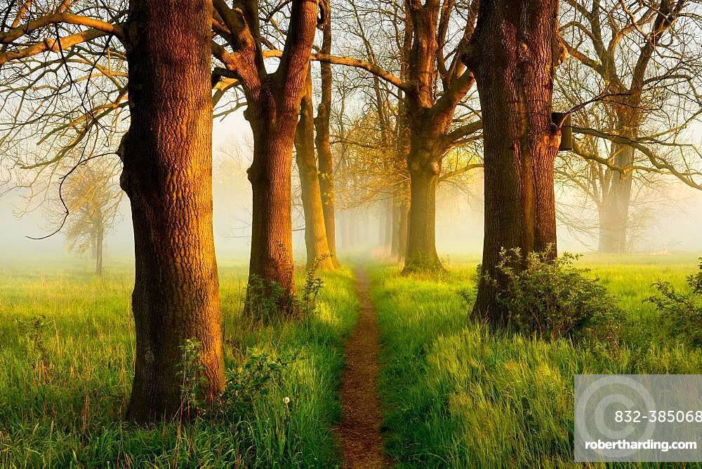 Narrow path through oak and ash avenue, fog, morning light, Naumburg, Saxony-Anhalt, Germany, Europe