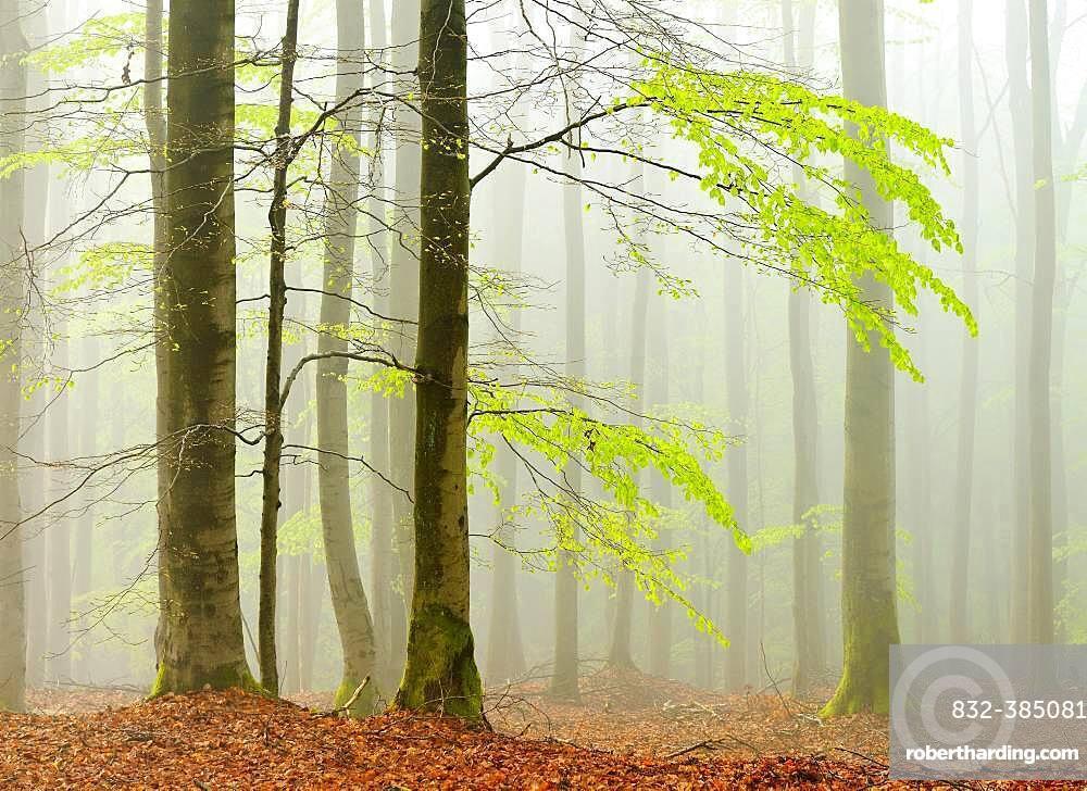 Beech forest in spring in dense fog, fresh green leaves, Kellerwald-Edersee nature park, Hesse, Germany, Europe