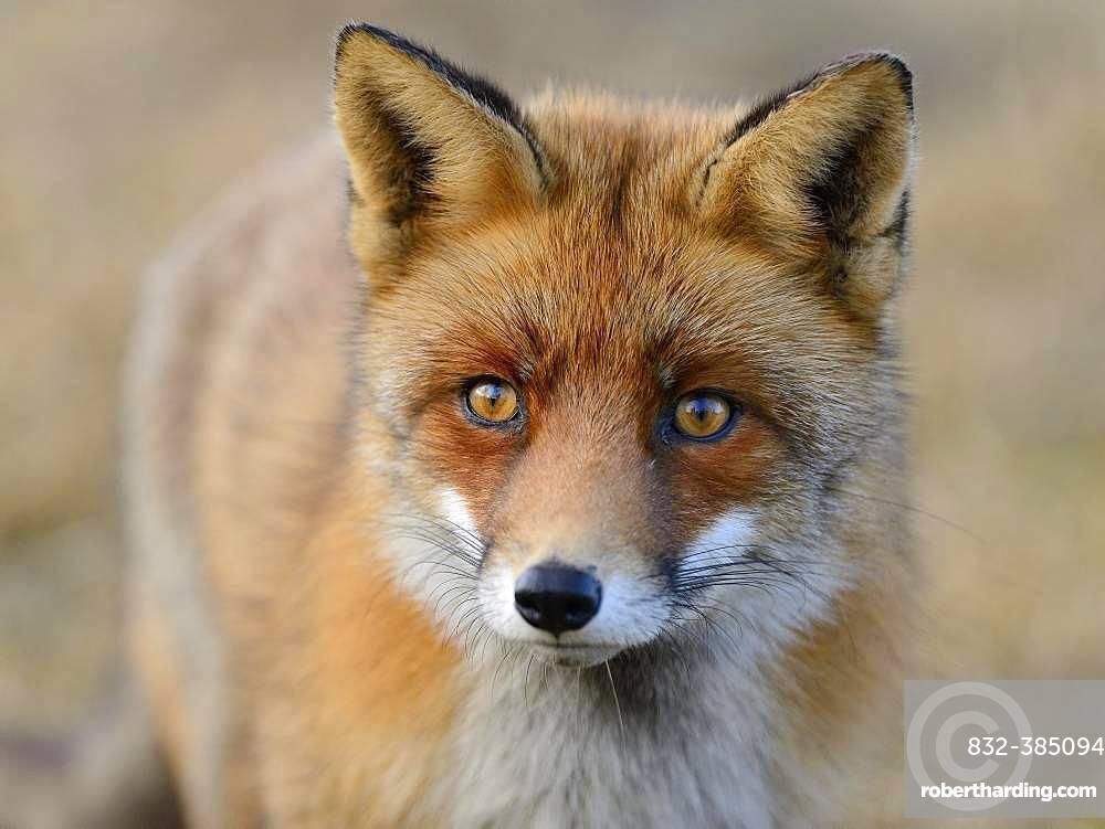 Red fox (Vulpes vulpes), animal portrait, Waterleidingduinen, North Holland, Netherlands