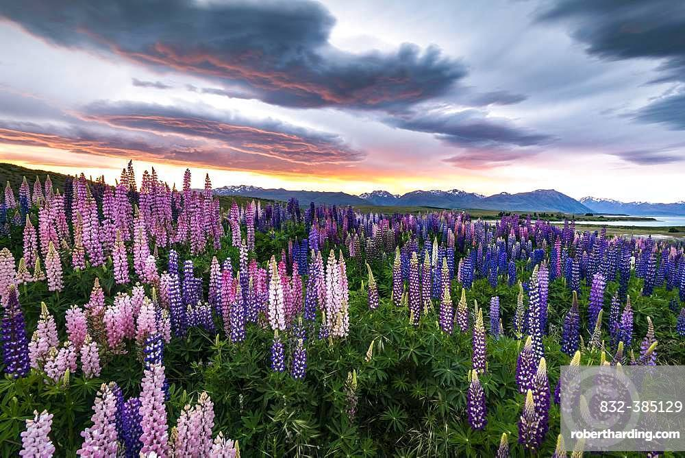 Colorful Large-leaved lupins (Lupinus polyphyllus) at the shore of Lake Tekapo in dramatic light mood, sunset, Canterbury, South Island, New Zealand, Oceania