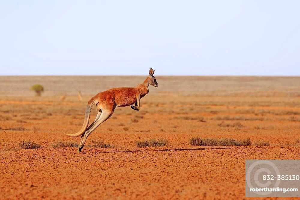 Red kangaroo (Macropus rufus), adult, jumping, wide dry landscape, Sturt National Park, New South Wales, Australia, Oceania