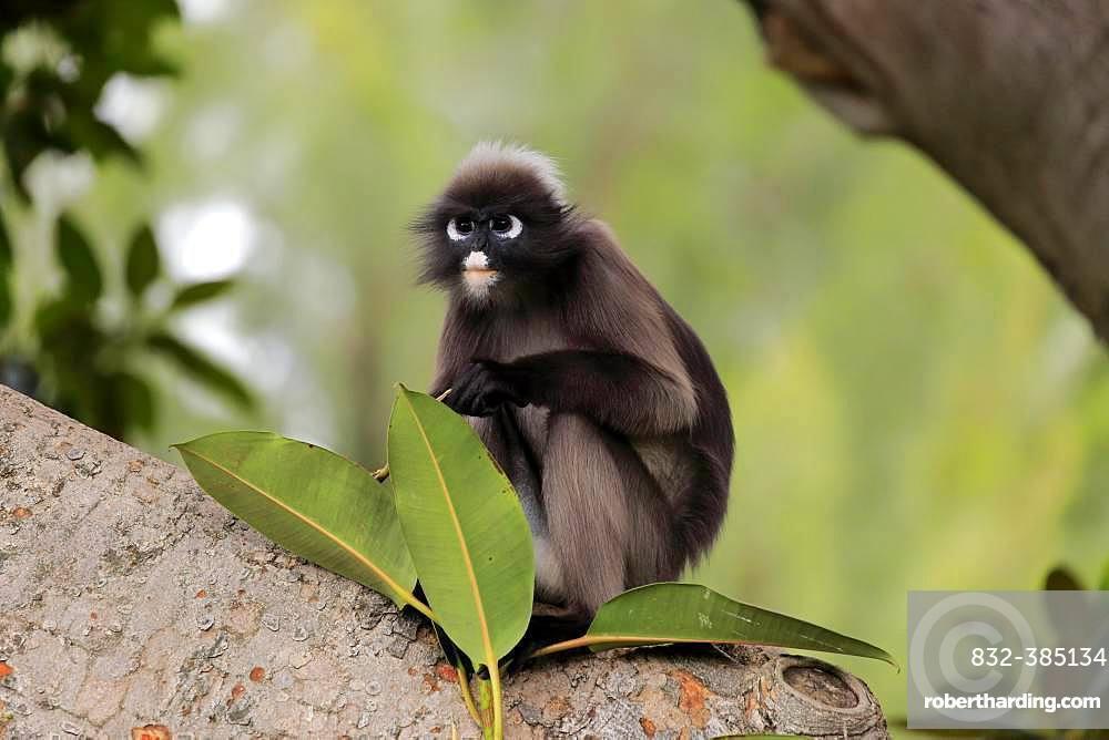 Dusky leaf monkey (Trachypithecus obscurus), adult on tree, captive, Adelaide, South Australia, Australia, Oceania