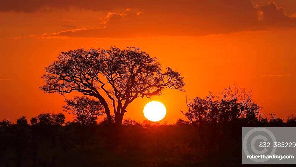 Umbrella thorn acacia (umbrella acacia tortilis) at sunset, Manyeleti Nature Reserve, South Africa, Africa