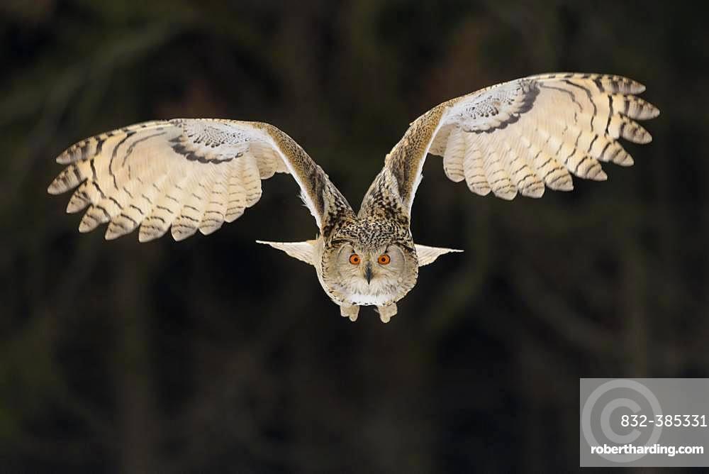 Siberian Eagle Owl (Bubo bubo sibiricus), adult female in flight, captive, Bohemia, Czech Republic, Europe
