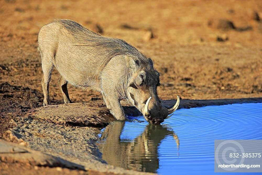 Warthog (Phacochoerus aethiopicus), adult, male drinking at waterhole, Addo Elephant National Park, Eastern Cape, South Africa, Africa