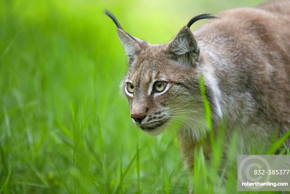 Eurasian lynx (Lynx lynx) on the stalk, Saarland, Germany, Europe