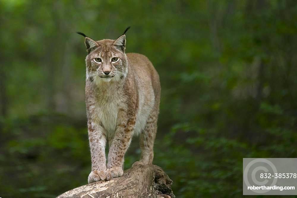 Eurasian lynx (Lynx lynx), Saarland, Germany, Europe