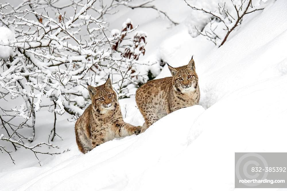 Two young Eurasian lynxes (Lynx lynx), running in deep snow, captive, Bavarian Forest, Bayern, Germany, Europe