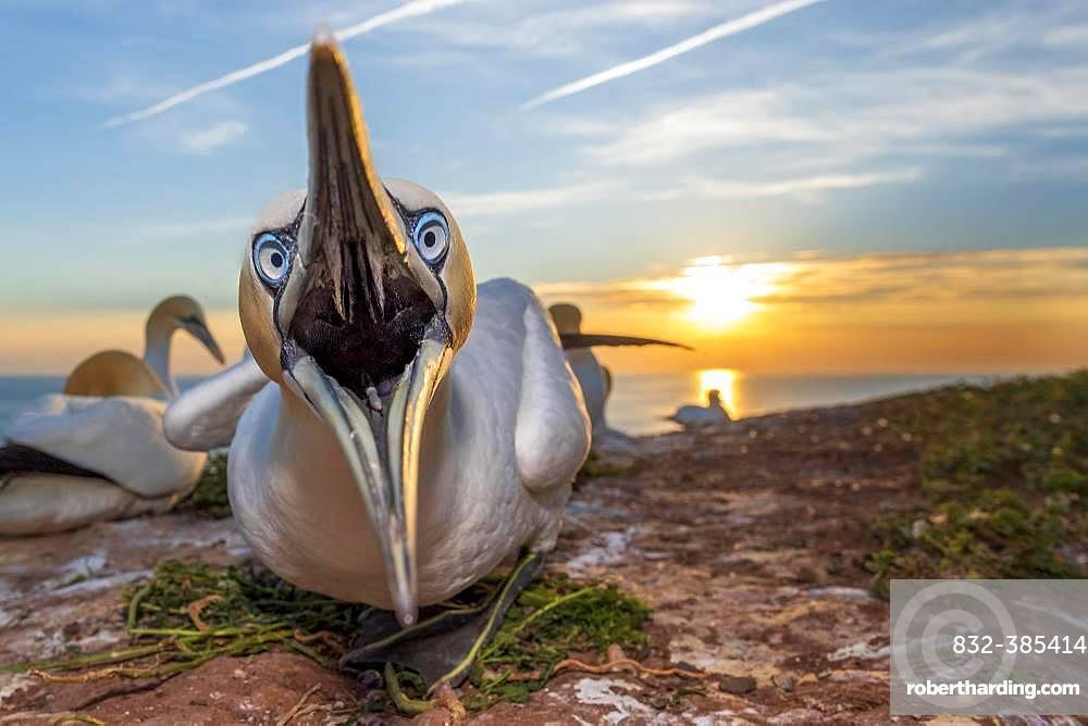 Northern gannet (Morus bassanus) with open beak, Lummenfelsen, Heligoland, Schleswig-Holstein, Germany, Europe