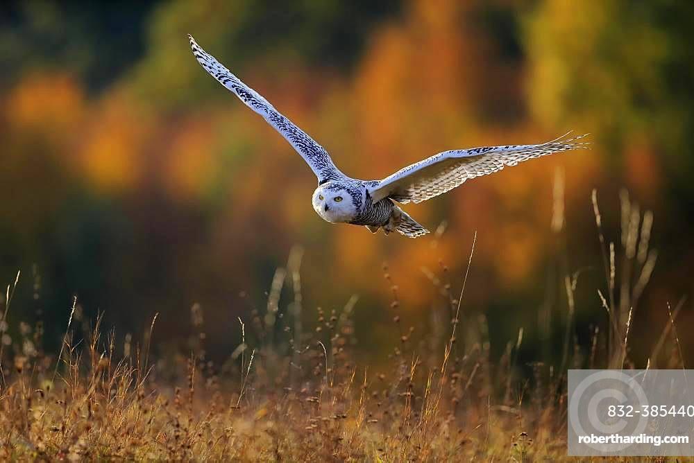 Snowy owl (Nyctea scandiaca), adult, flies over meadow, Slovakia, Europe