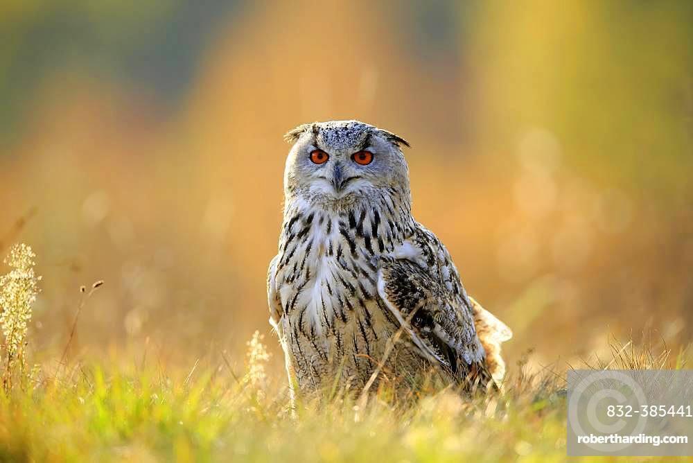 Siberian Eagle Owl (Bubo bubo sibiricus), adult, standing in meadow, Slovakia, Europe