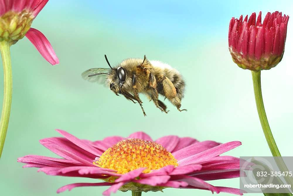 Hairy-Footed Flower Bee (Anthophora plumipes) in flight on a marguerite (Leucanthemum), Germany, Europe